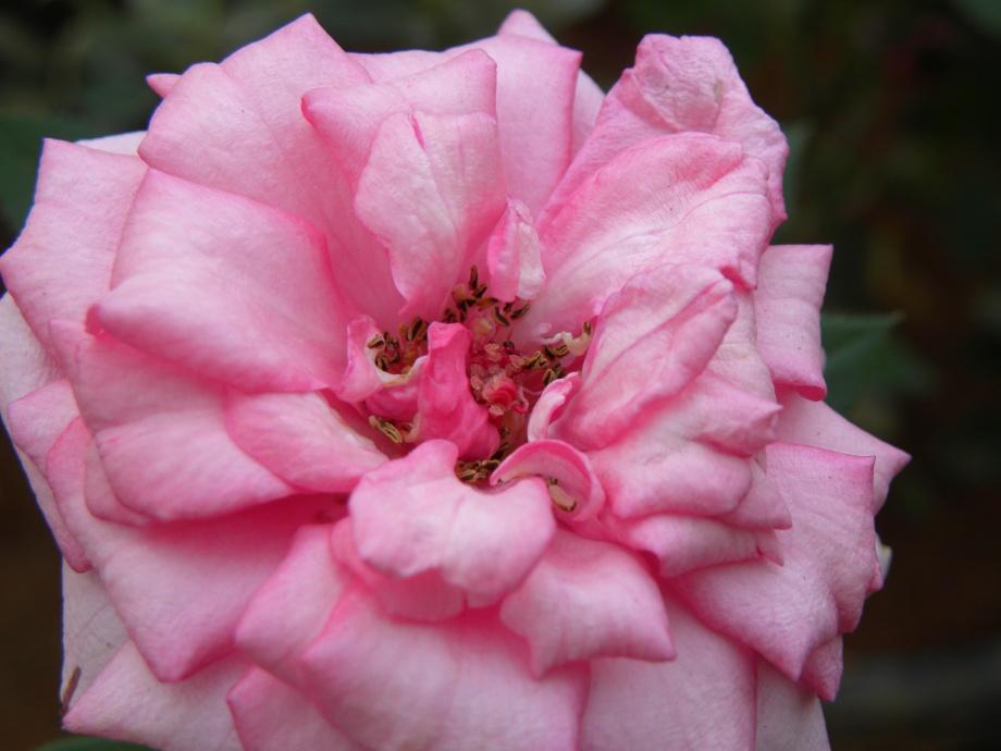 pinkblush.jpg