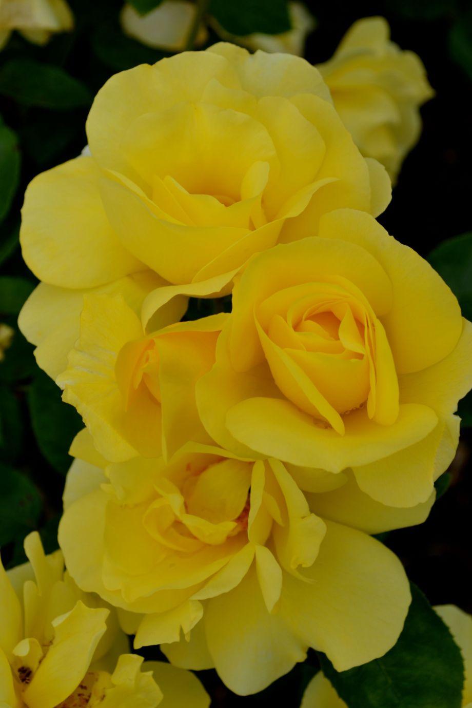 yellowrib.jpg