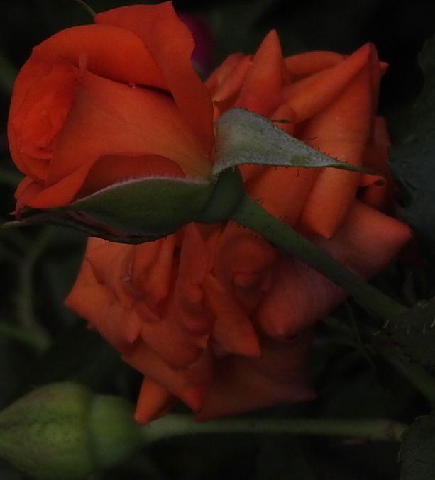 roseonrose