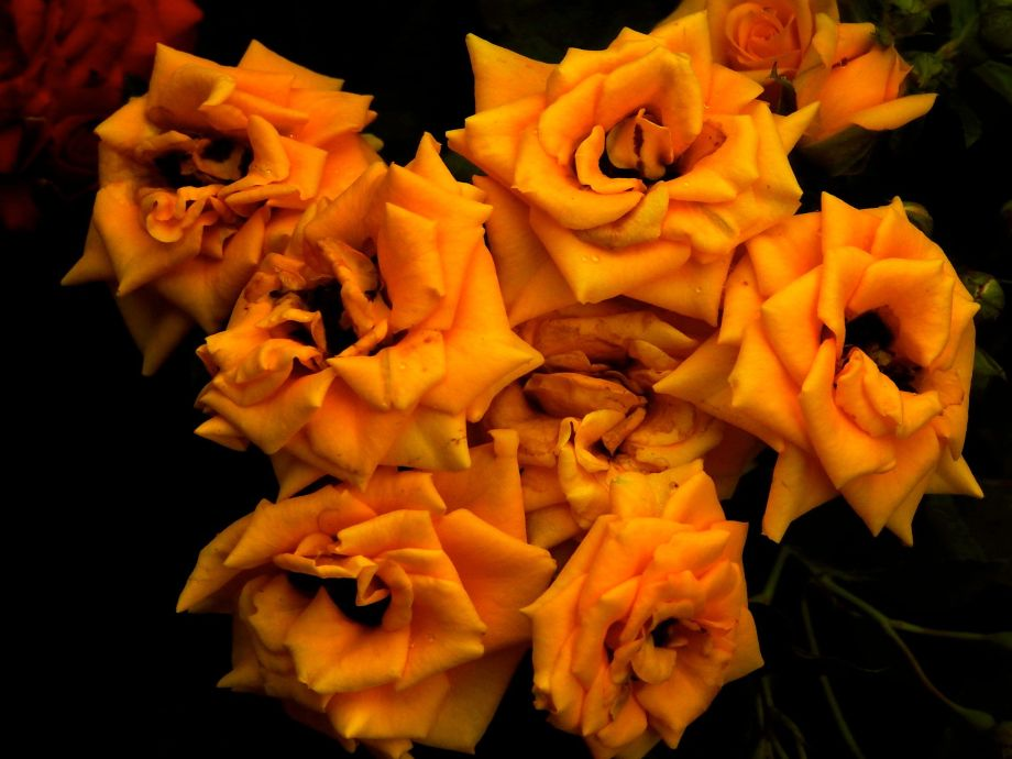 roseyeller