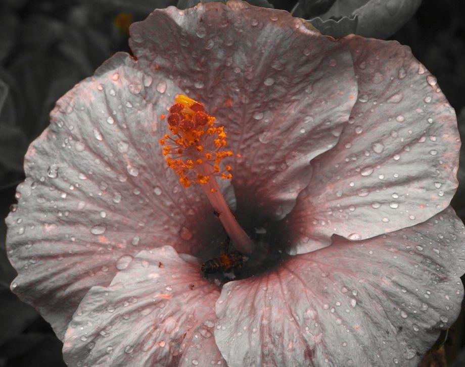 hibisbath