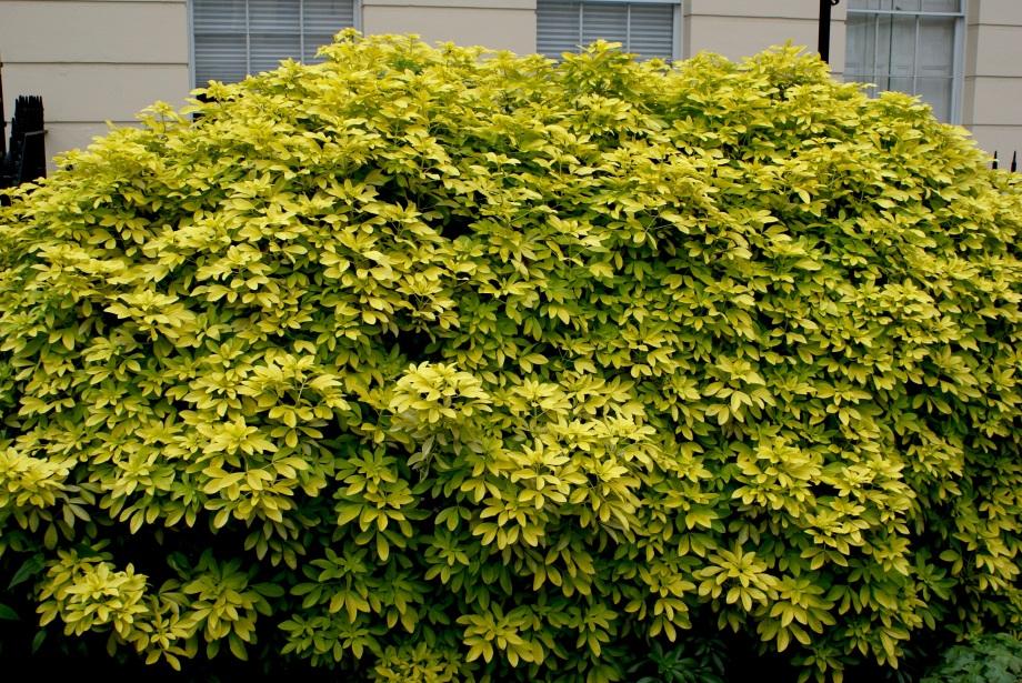 hugeshrub.JPG