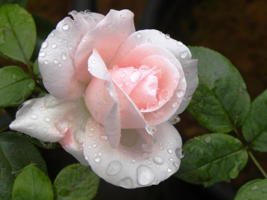 rainedrose.jpg