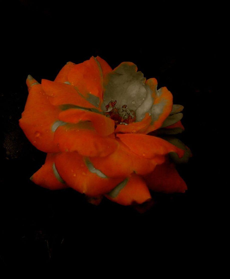 rosecandles