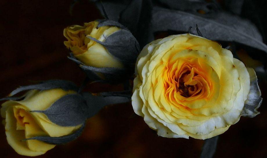 roselettering