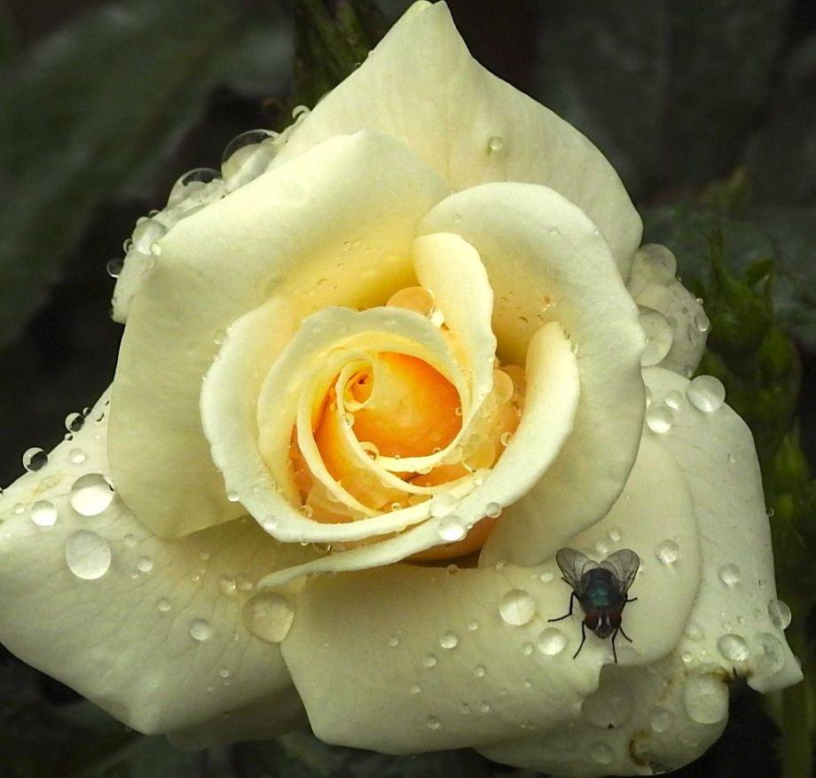 rosevisit