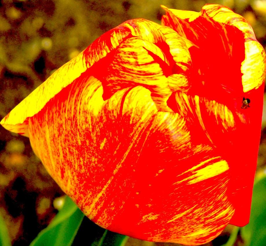 tulipglittered.jpg