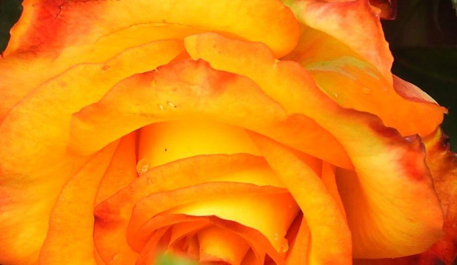 rosemagicc