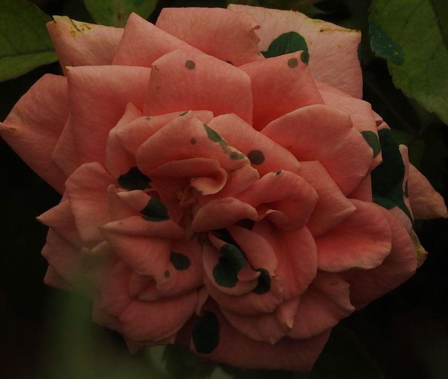 rosewithgreydots