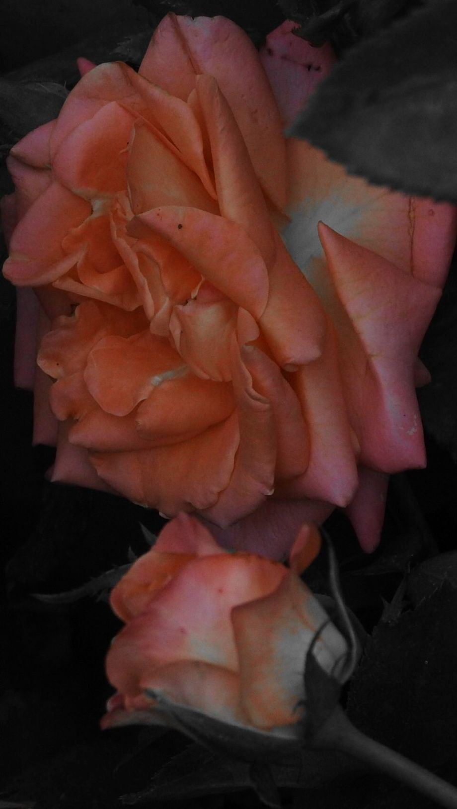 rosecuddles