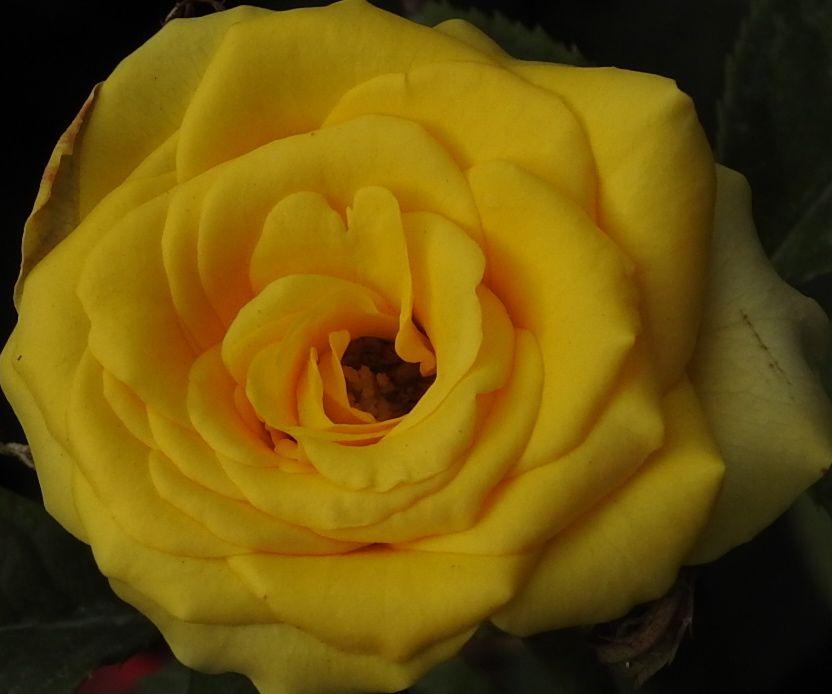 yellowroll