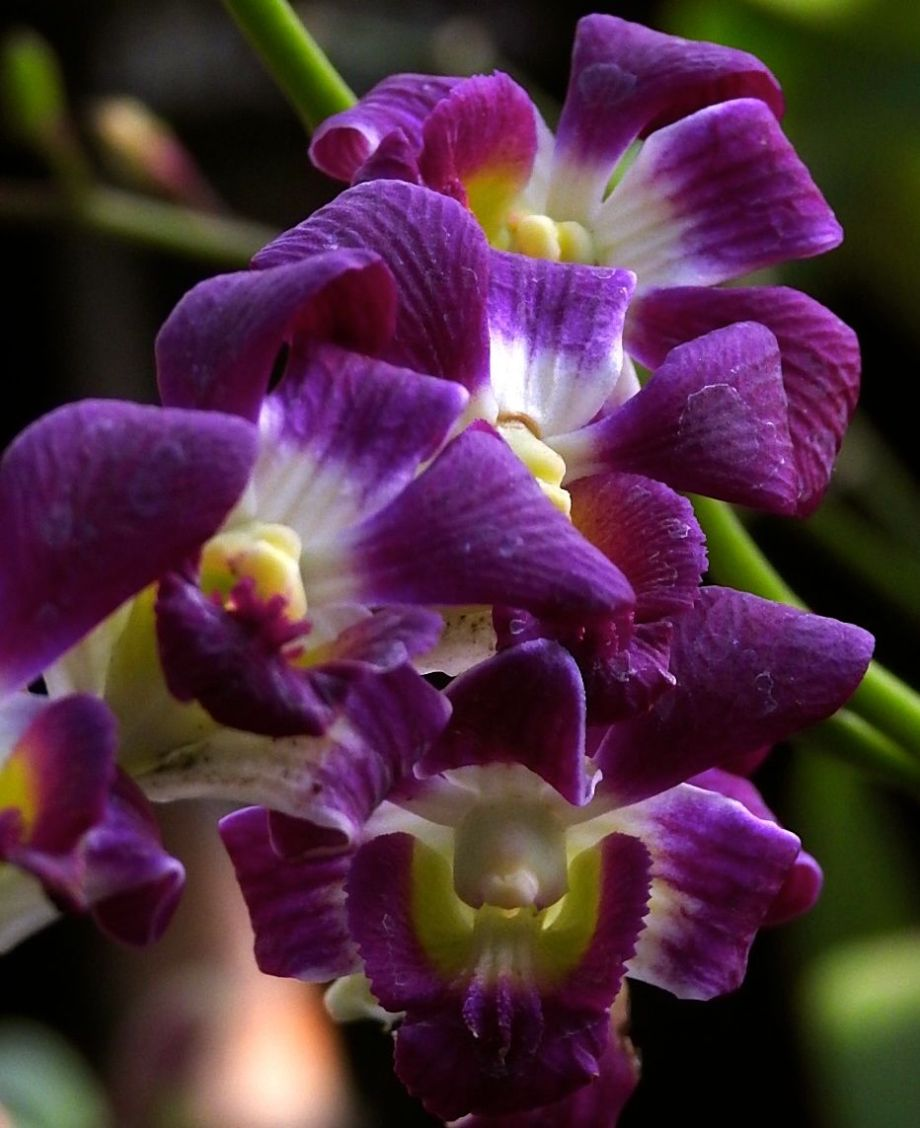 orchidblaze