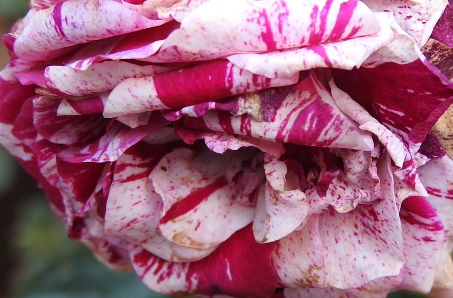 pinkdish