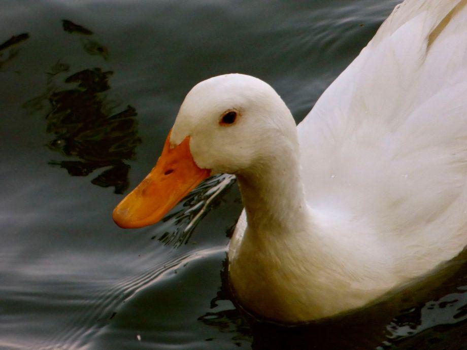 foie gras eek