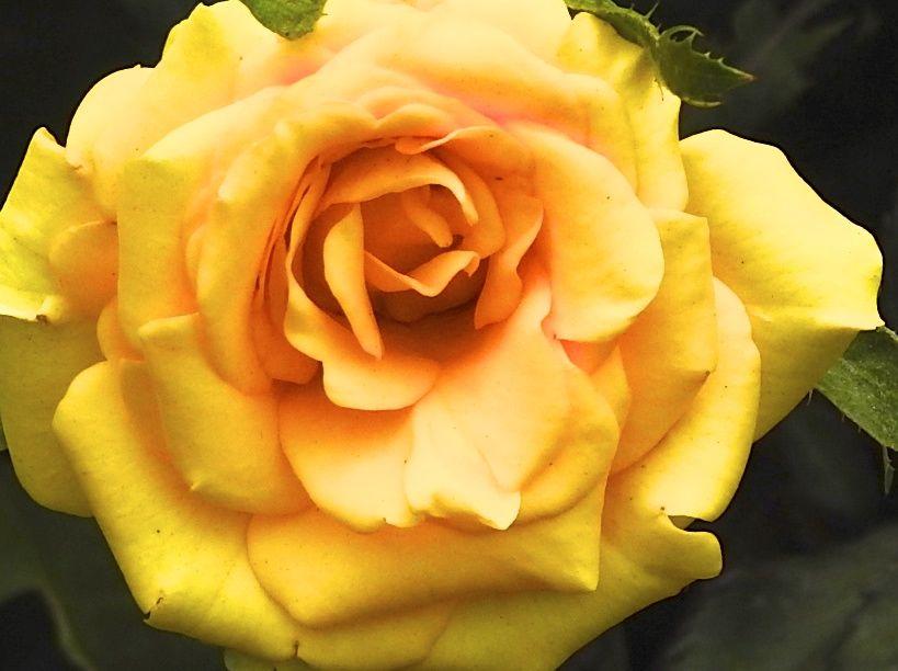 yellowbikinee
